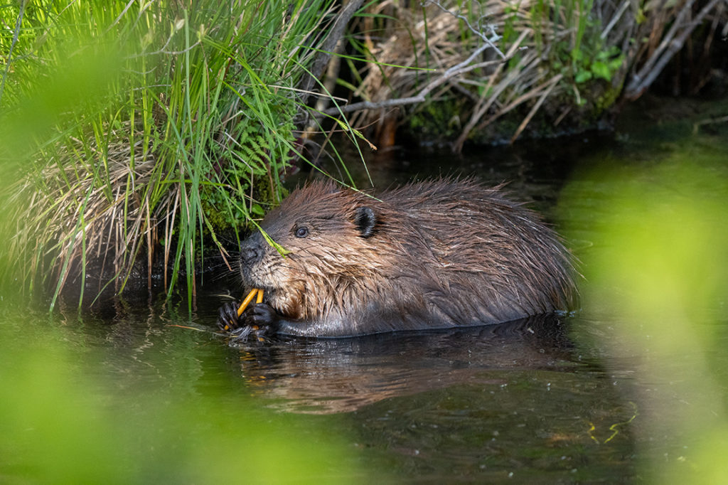 A beaver sits in water under a forested area and eats small branches.