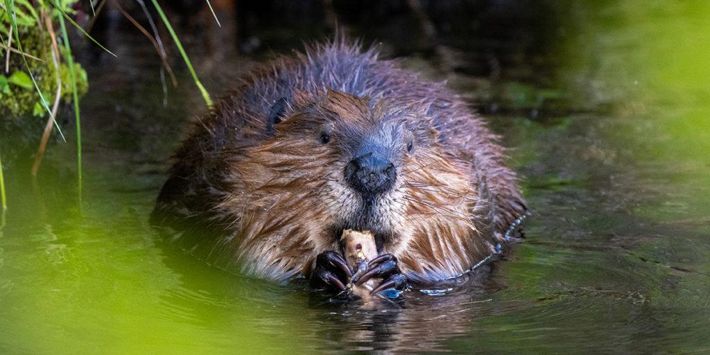 Beavers Are a Stream's Best Friend