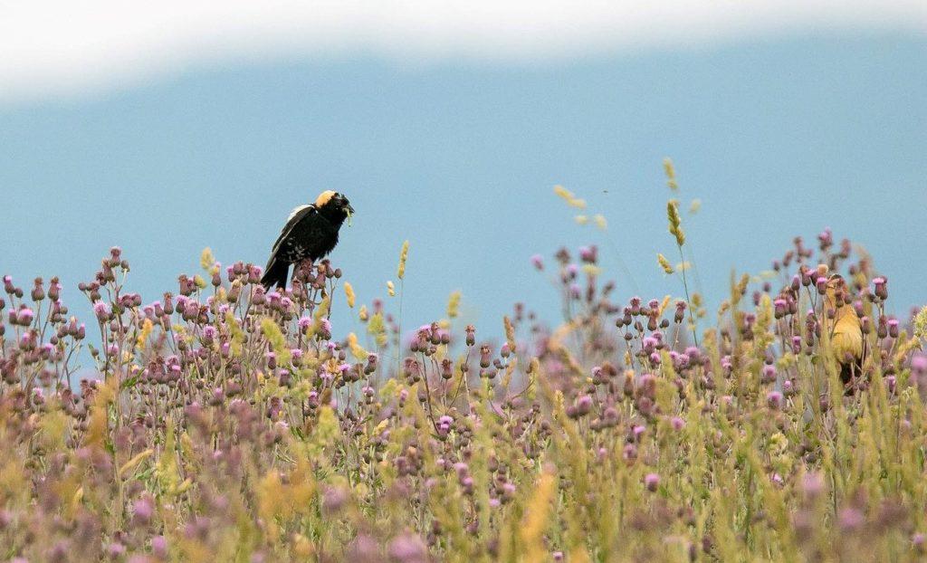 Support Grassland Birds on World Migratory Bird Day
