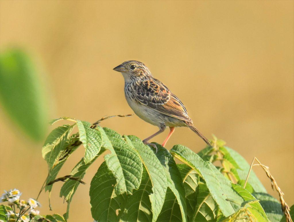 Grassland Birds
