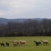 Retreat Farm sheep