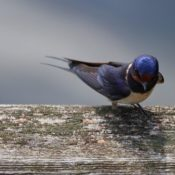 A perched barn swallow.