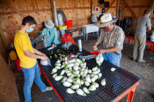 community farm volunteers packing eggplant