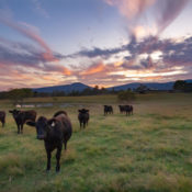Cows at Sunset. Photo by Tina Falkenbury.