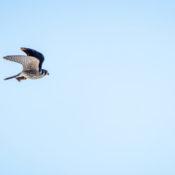 An American Kestrel in flight