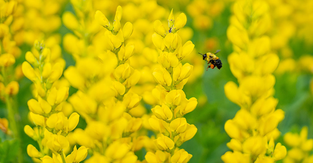 Bee with native plants