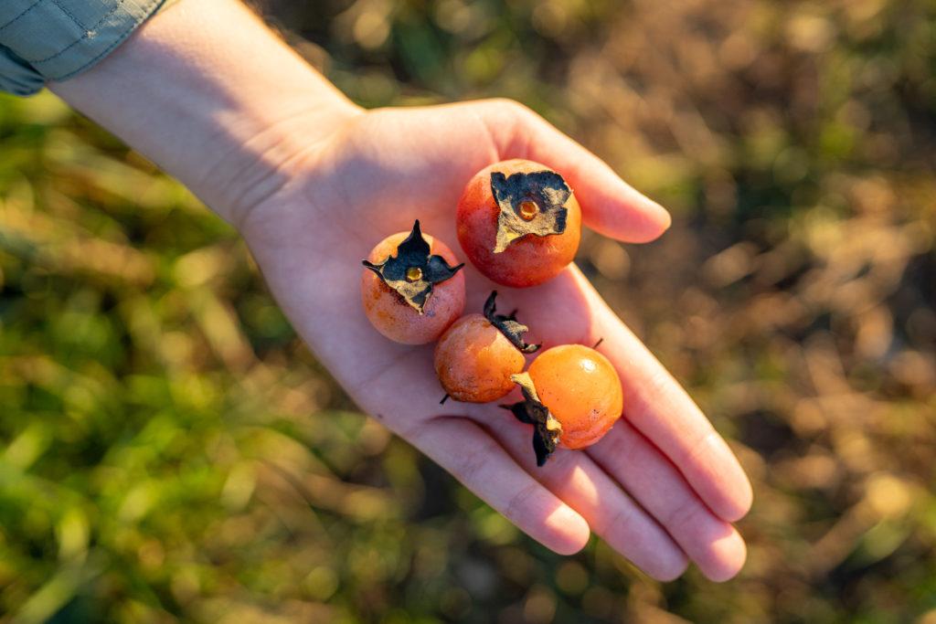 Fall's Favorite Fruit: Persimmon