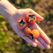 a hand holding small orange fruit
