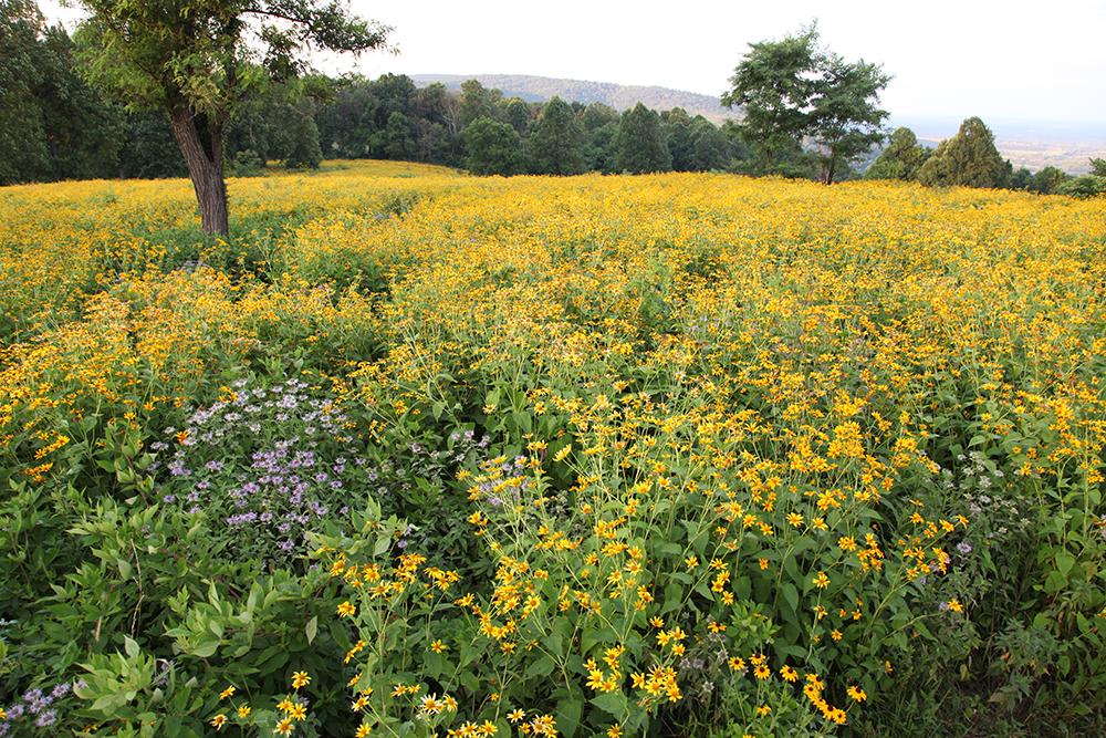 Full bloom at the Piedmont Memorial Overlook.
