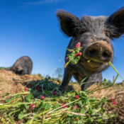 a heritage pig eating a flower