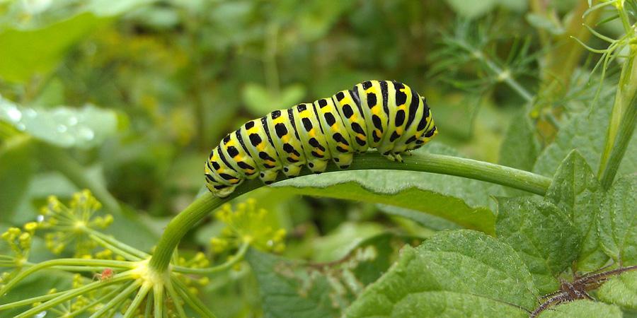 Larval Host Plants of Selected Lepidoptera (e.g. Butterflies, Moths, Skippers) in Virginia