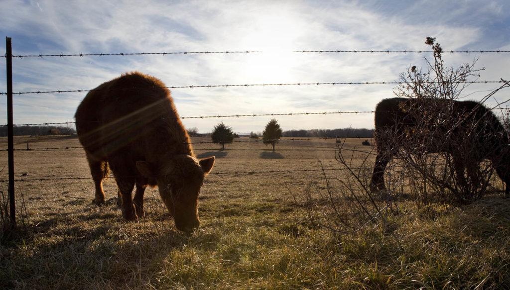 Cows at Wilson family farm